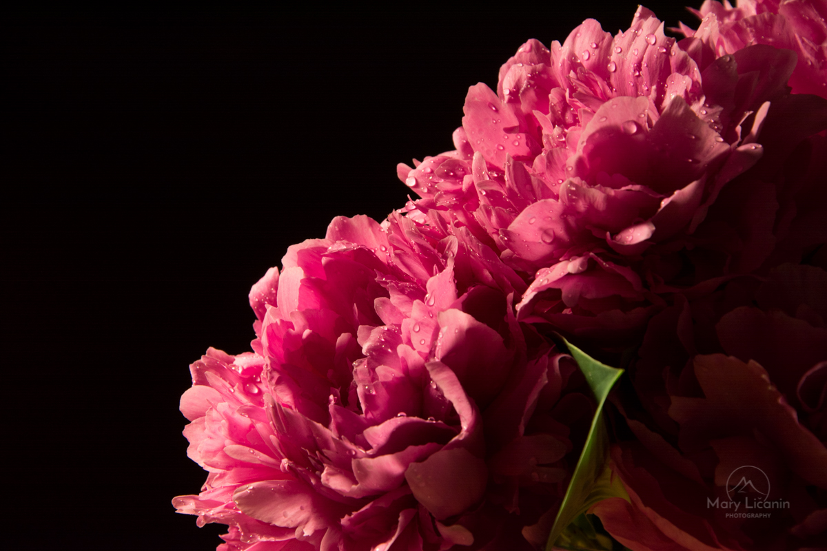 Peonies on Black by Mary Licanin Fine Art Photography