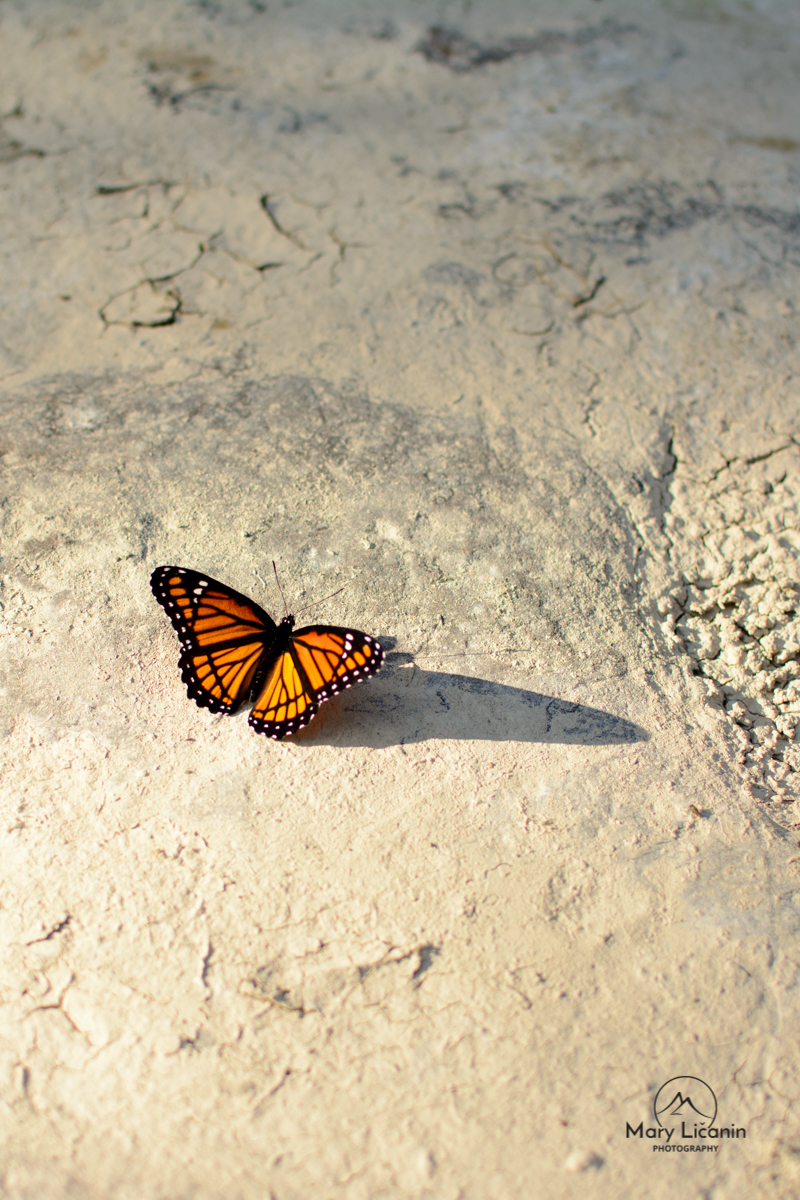 Viceroy Butterfly by Mary Licanin Fine Art Photography