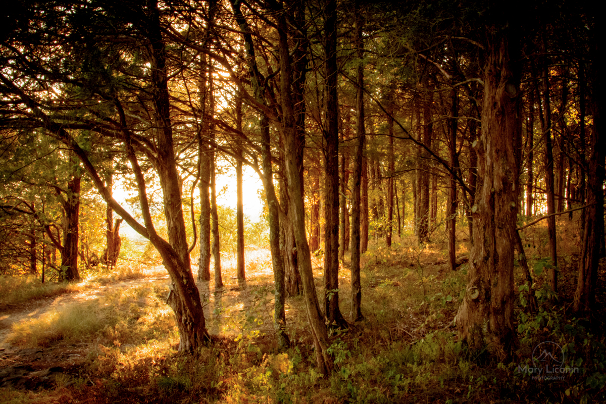 Golden Forest by Mary Licanin Fine Art Photography