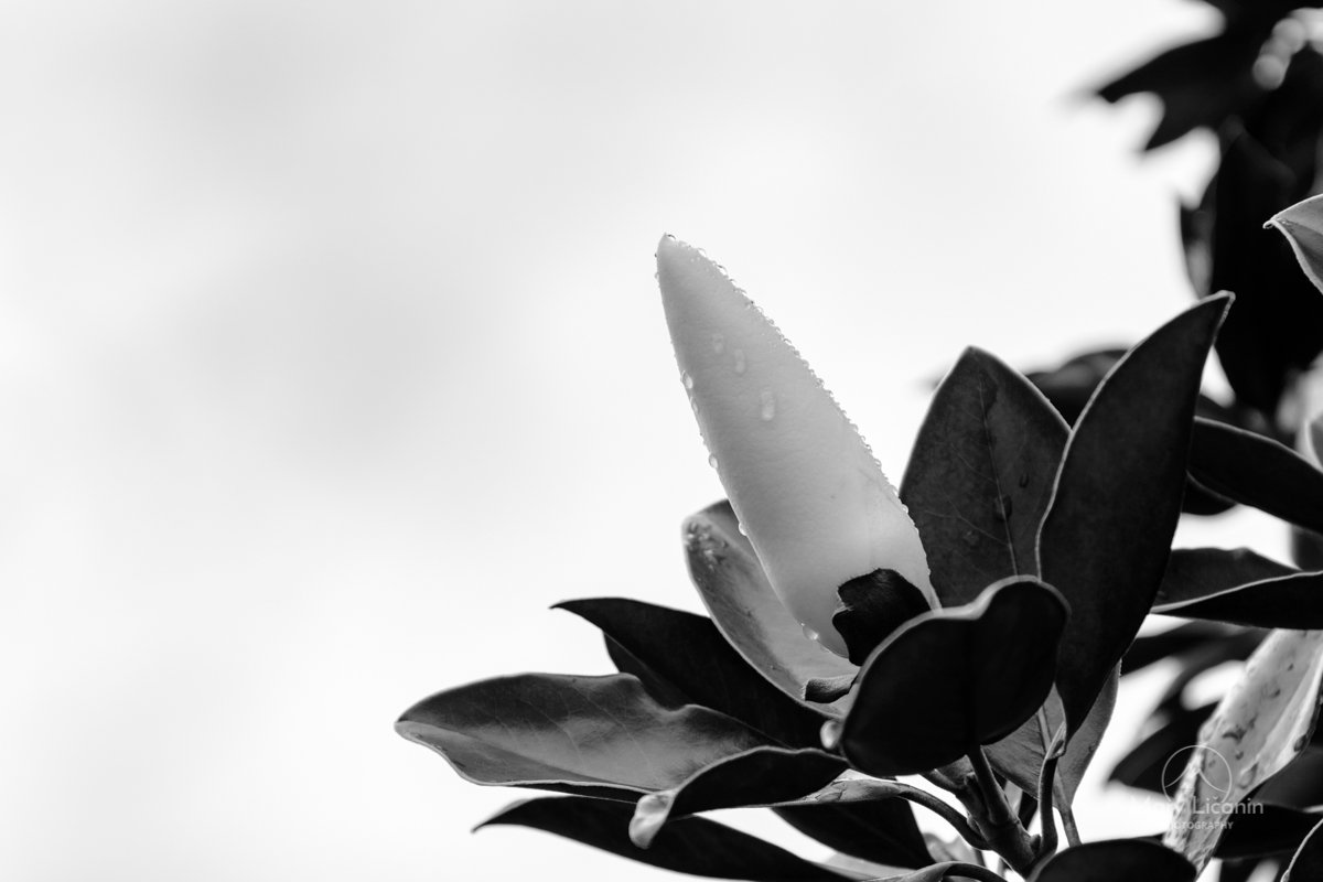 Before the Magnolia Blooms by Mary Licanin Fine Art Photography