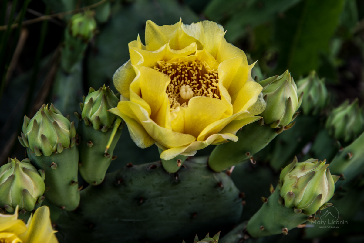 Prickly Pear Cactus by Mary Licanin Fine Art Photography