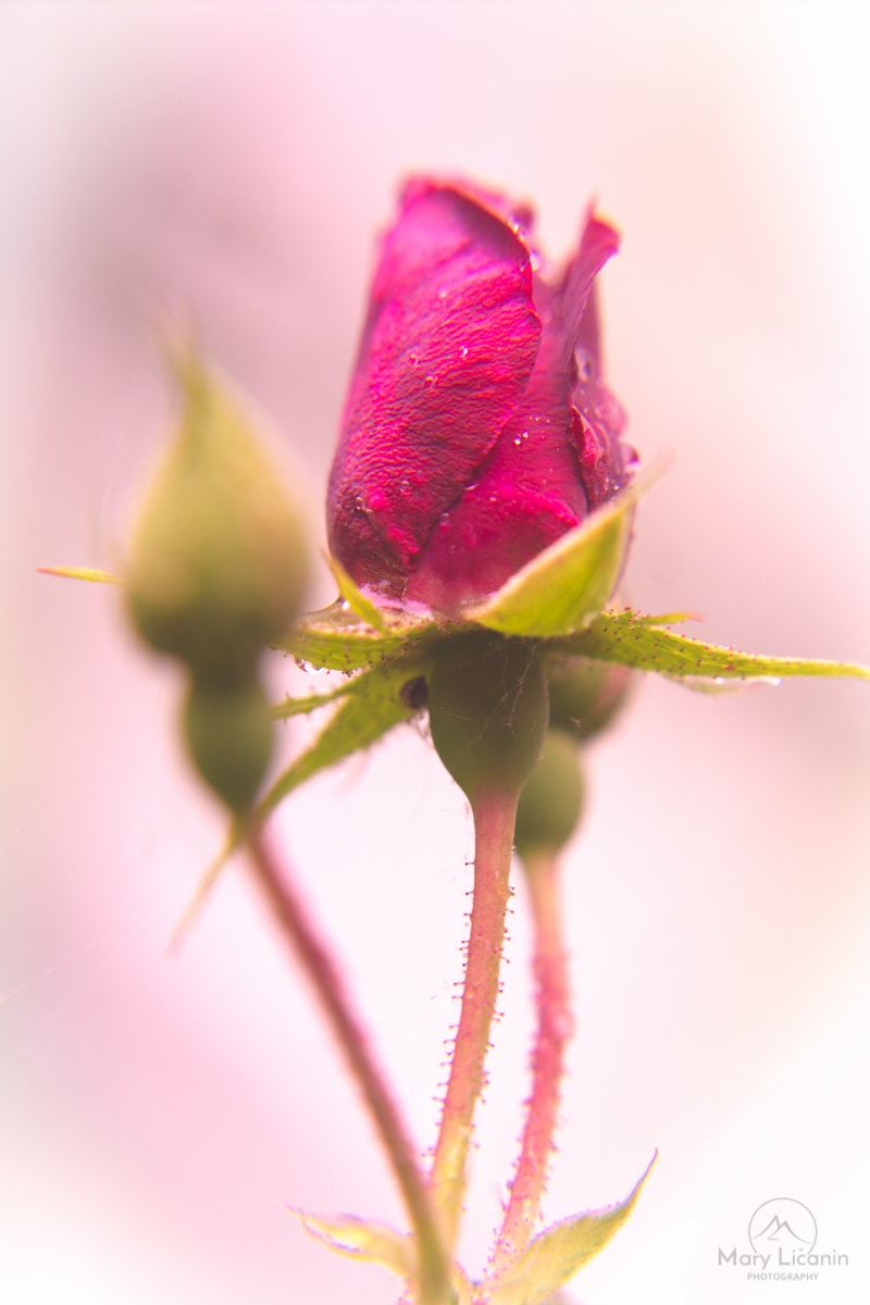 Misty Morning Rose by Mary Licanin Fine Art Photography
