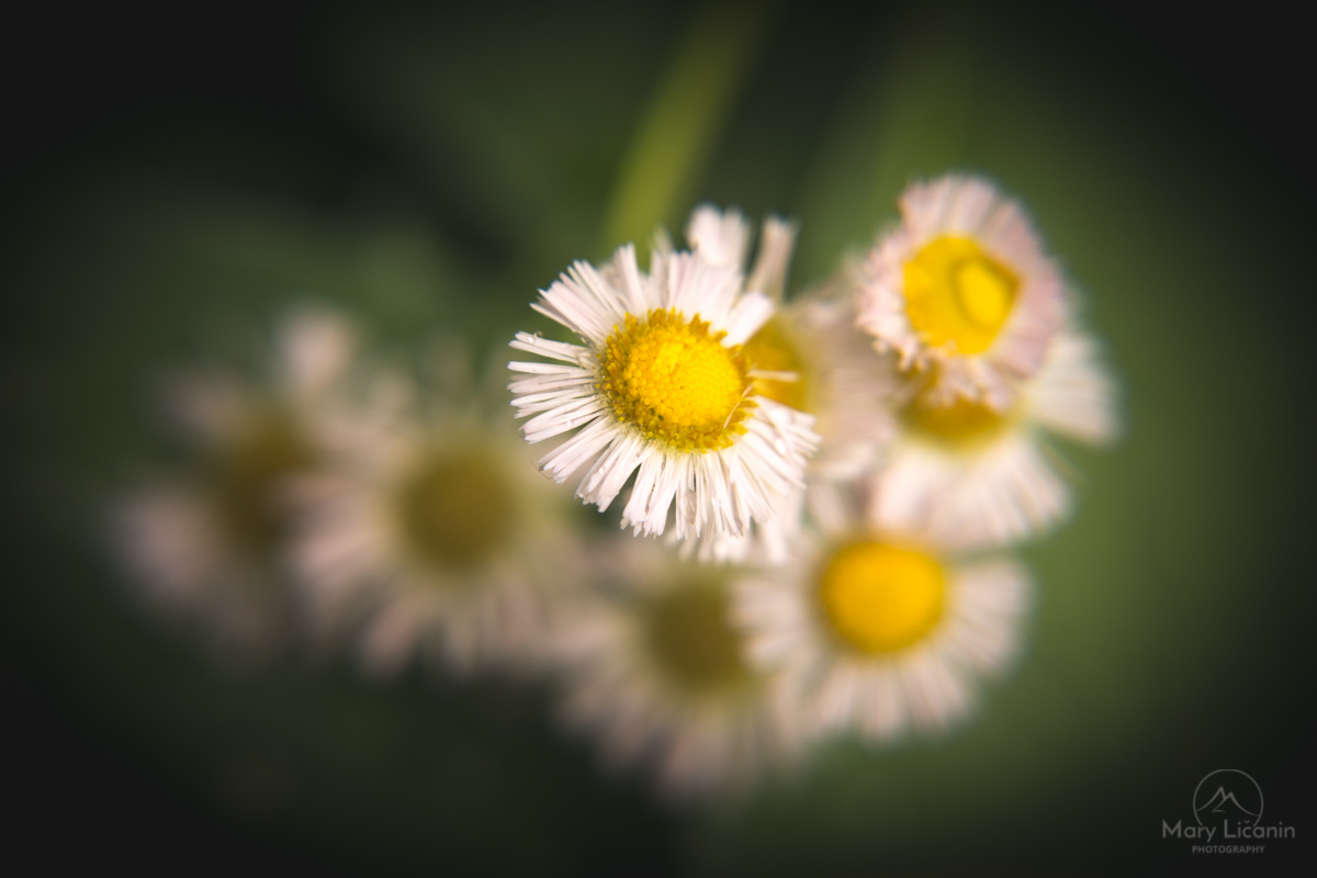 White Wild Daisies by Mary Licanin Fine Art Photography